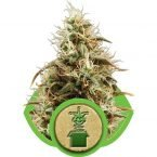 Royal Queen Seeds Jack Herer Automatic Feminised Seeds
