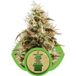 Jack Herer Automatic Feminised Seeds