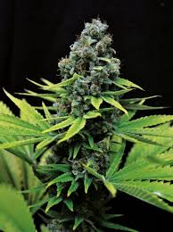 Seedsman CBD Shark Shock Feminised Seeds