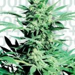 Shiva Skunk Feminised Seeds
