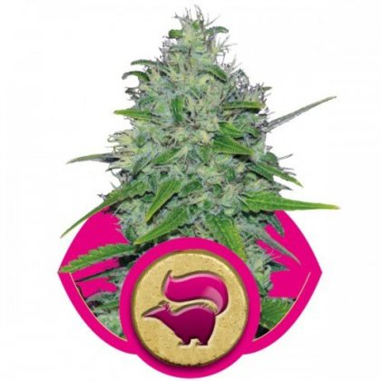 Royal Queen Seeds Skunk XL Feminised Seeds