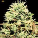 Super Bud Feminised Seeds