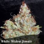 Bulk Seeds White Widow female seeds
