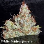White Widow female seeds