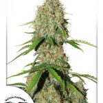 Auto Brooklyn Sunrise Feminised seeds