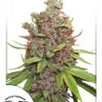 Auto Glueberry O.G Feminised Seeds