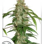 CBD Auto White Widow feminised seeds