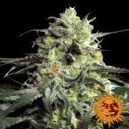 Barneys Farm Peyote Cookies Feminised seeds