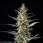 Candida (CD-1) Feminised Seeds
