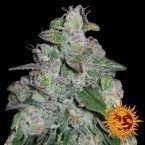 Barney's Farm Blueberry OG feminised seeds