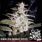 shortstuff seeds Himalaya Orange Diesel Feminised