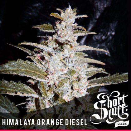 shortstuff seeds Himalaya Orange Diesel Feminised