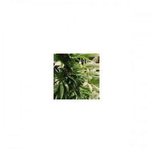 Nirvana Seeds Indoor Mix Regular Seeds