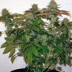 Barney's Farm 8 Ball Kush Feminised Seeds