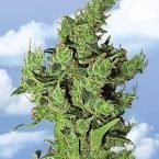 Flying Dutchmen Amsterdam Mist Feminised Seeds