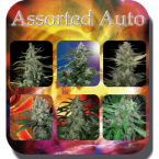 Buddha Seeds Assorted Auto Feminised Mix