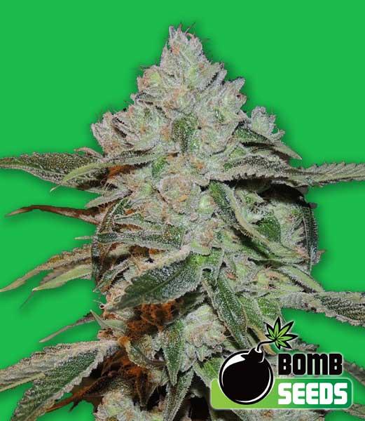 Bomb Seeds Atomic Bomb