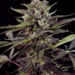 Auto Blueberry Auto-Flowering Feminised seeds