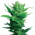 Think Different Auto-flowering Feminised Seeds