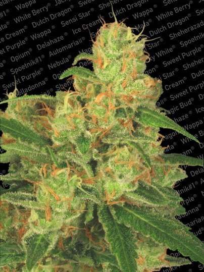 Paradise Seeds Auto Acid feminised