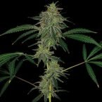 Barney's Farm Blue Mammoth Auto Feminised Seeds