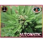 Big Buddha Seeds AUTOMATIC Feminised Seeds