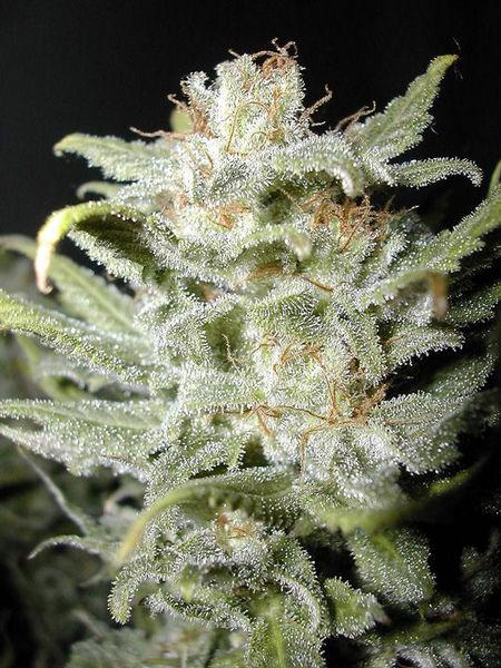 Cannabiogen Bangi Haze Regular Seeds