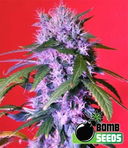 Bomb Seeds Berry Bomb Auto