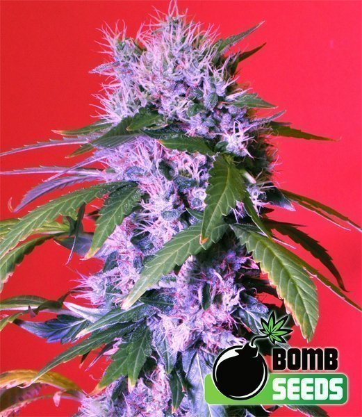 Bomb Seeds Berry Bomb