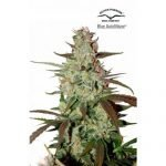 Blue AutoMazar Feminised Seeds