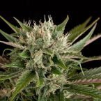 Dinafem Blue Cheese Feminised Seeds