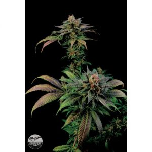 Dinafem Blue Widow Feminised Seeds