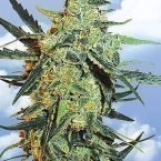 Flying Dutchmen Blueberry Skunk Feminised Seeds