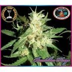 Big Buddha Seeds Buddha Haze Feminised Seeds
