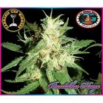 Buddha Haze Feminised Seeds