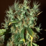 CBD Mango Haze Feminised Seeds