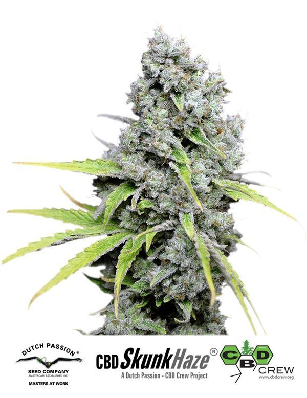 Dutch Passion CBD Skunk Haze Feminised Seeds