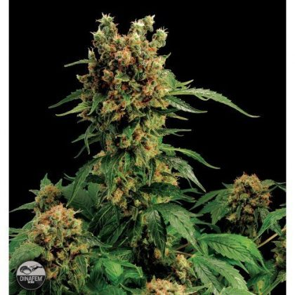 Dinafem California Hash Plant Feminised Seeds