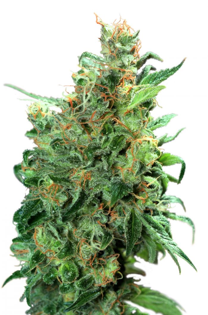 Dutch Passion Californian Orange Feminised Seeds
