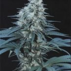 Cannabiogen Caribe Feminised Seeds