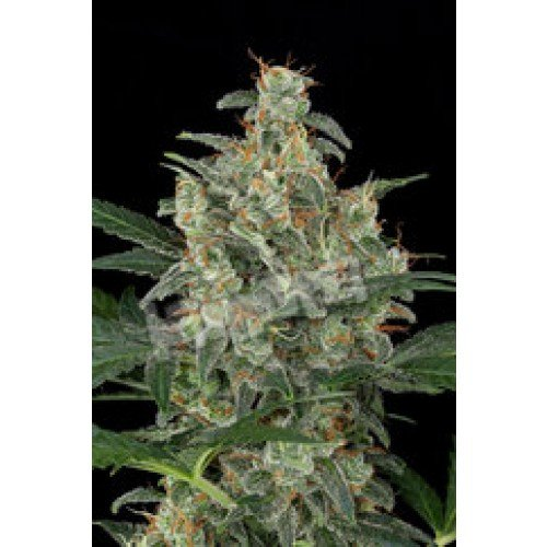 Dinafem Cheese Automatic Feminised Seeds