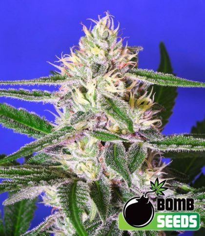 Bomb Seeds Cheese Bomb