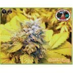 Big Buddha Seeds Cheese Dawg Feminised Seeds