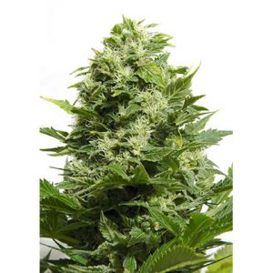 Big Buddha Seeds Cheese Feminised Seeds