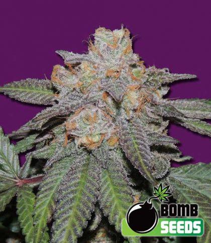Bomb Seeds Cherry Bomb Auto