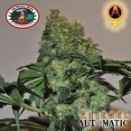 Big Buddha Seeds Chiesel AUTO Feminised Seeds