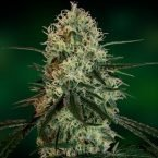 Barney's Farm Chronic Thunder Feminised Seeds
