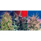 Dutch Passion Colour Mix 1 - 6 Feminised Seeds