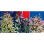 Colour Mix 1 – 6 Feminised Seeds