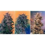 Dutch Passion Colour Mix 2 - 6 Feminised Seeds